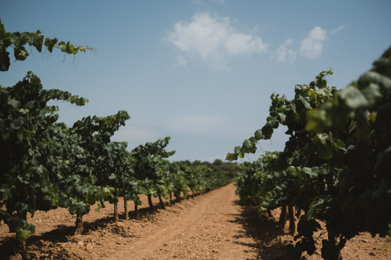 Weinberge eines Weingut unter einem dem Himmel in Barcelona