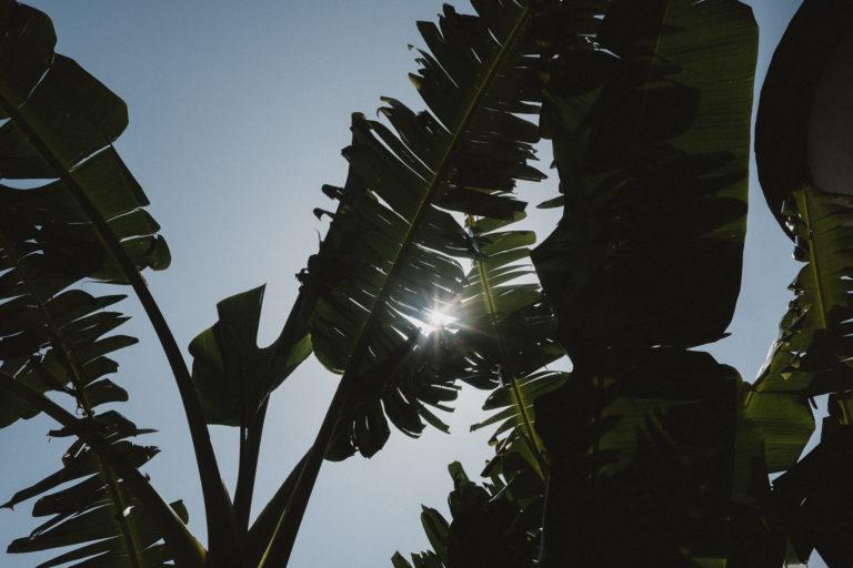 große Palmenblätter unter dem blauen Himmel& Sonnenscheihn in Barcelona