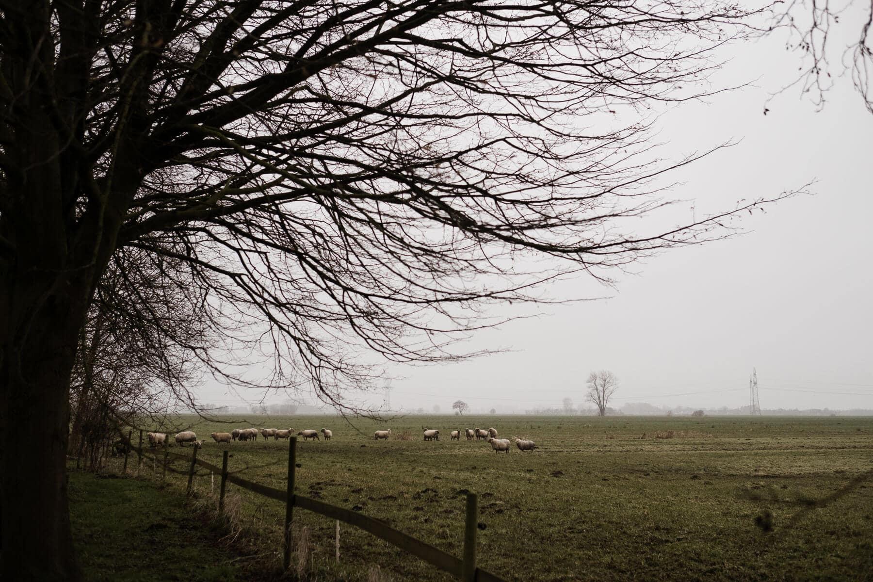 eine große Wiese, auf der Schafe stehen, im Vordergrund steht ein kahler Baum, es ist Winter